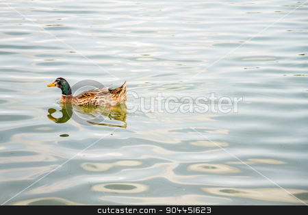 Domestic Mallard Duck Swimming in the Pond stock photo, Domestic mallard duck swimming in the pond of a park by OZMedia