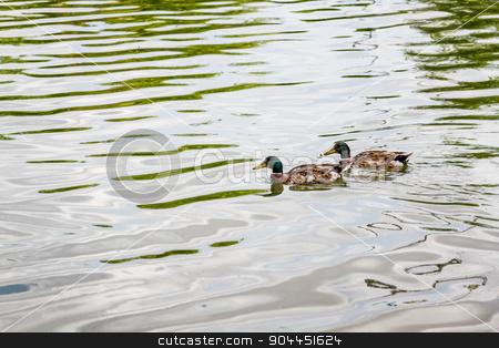 Domestic Mallard Ducks Swimming in the Pond stock photo, Domestic mallard ducks swimming in the pond of a park by OZMedia