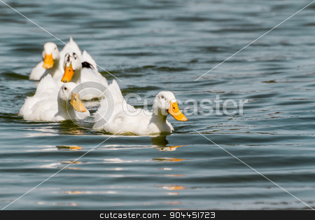 Domestic White Duck Swimming in the Pond stock photo, Domestic white duck swimming in the pond of a park by OZMedia