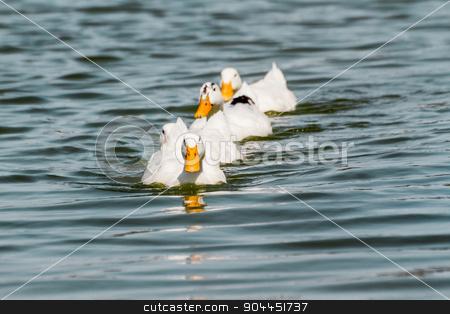 Domestic White Duck Swimming in the Pond stock photo, Domestic White Ducks Swimming in the Pond by OZMedia
