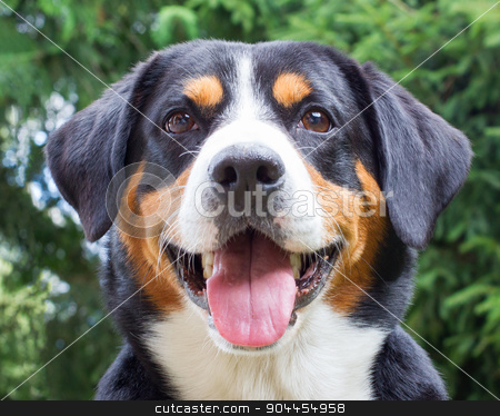 Young Sennenhund, close-up stock photo, Young Sennenhund, close-up, playfull look in the eyes by michaklootwijk