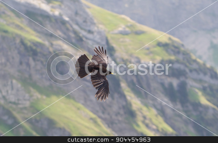 Alpine Chough (Pyrrhocorax graculus) flying stock photo, Alpine Chough (Pyrrhocorax graculus) flying in the mountains by michaklootwijk