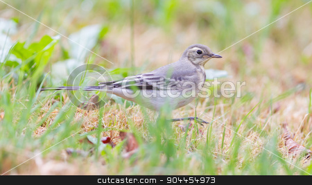 Yellow wagtail, female stock photo, Yellow wagtail, female, perching in grass, summer by michaklootwijk