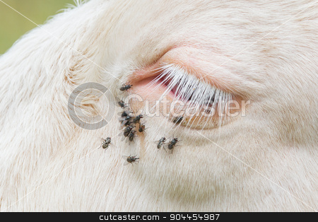 Troublesome flies in the cow's eye stock photo, Troublesome flies in the cow's eye, Switzerland by michaklootwijk