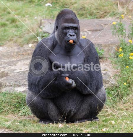 Silver backed male Gorilla stock photo, Silver backed male Gorilla, enjoying some fruit by michaklootwijk