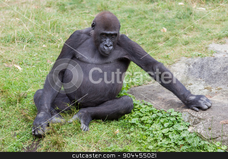 Adult gorilla resting stock photo, Adult gorilla resting in the green grass by michaklootwijk