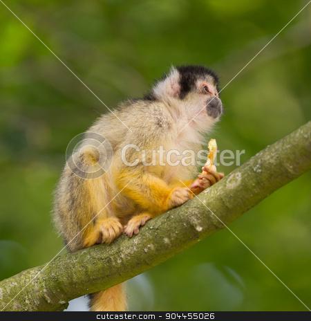 Small common squirrel monkeys (Saimiri sciureus) stock photo, Small common squirrel monkeys (Saimiri sciureus), selective focus by michaklootwijk