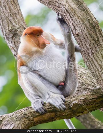 Proboscis monkey in a tree stock photo, Proboscis monkey in a tree, it's natural habitat by michaklootwijk