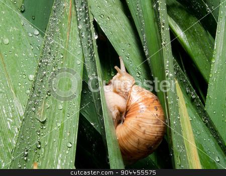 snails (Helix pomatia) rain stock photo, The snails (Helix pomatia) leaves amongst rain. by dadalia