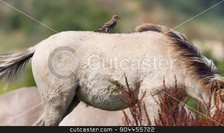 Bird sitting on Konik horse stock photo, Bird sitting on Konik horse in summer by michaklootwijk