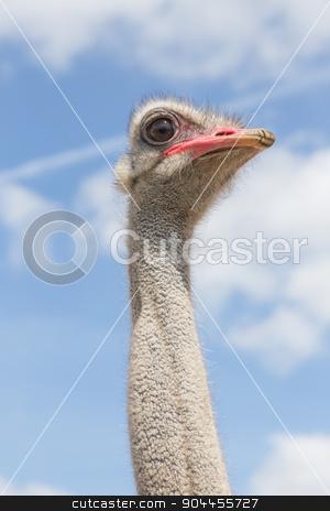 Oistrich look stock photo, Head and neck of an ostrich bird by Bernd Kröger