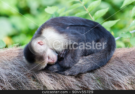 Capuchin monkey (Cebus capucinus) stock photo, Capuchin monkey (Cebus capucinus) sleeping in the open air by michaklootwijk