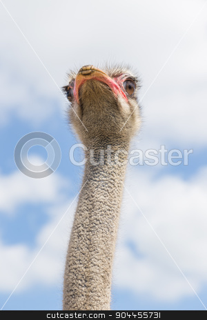 Ostrich in bottom view stock photo, ostrich head and neck taken from the bottom by Bernd Kröger
