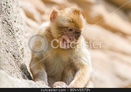 Grumpy Barbary Macaque (Macaca sylvanus) stock photo, Grumpy Barbary Macaque (Macaca sylvanus) resting, selective focus by michaklootwijk