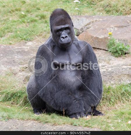 Silver backed male Gorilla stock photo, Silver backed male Gorilla, enjoying some rest by michaklootwijk