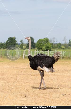 Ostrich on the pasture stock photo, African Ostrich on a pasture in Brandenburg by Bernd Kröger