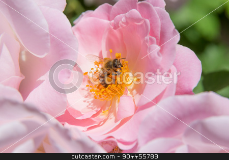 Bee on flower stamp stock photo, Bee with yellow pollen on leg by Bernd Kröger