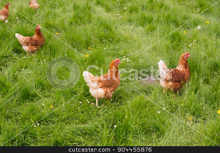 Chickens on the meadow stock photo, Several chicken on a meadow by Bernd Kröger
