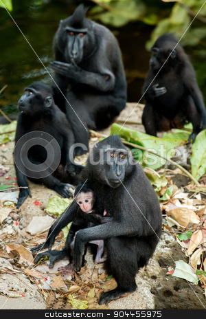 portrait of Celebes crested macaque, Sulawesi, Indonesia stock photo, portrait of  Ape Monkey Celebes with small baby Sulawesi crested black macaque, Takngkoko National park, Sulawesi, Indonesia by Artush