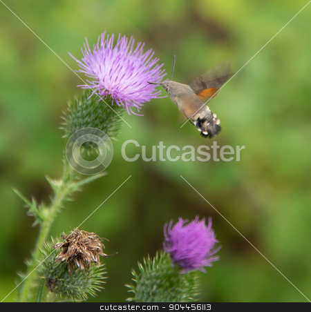 Hummingbird hawk-moth stock photo, Butterfly named Hummingbird hawk-moth flying around a thistle flower by prill