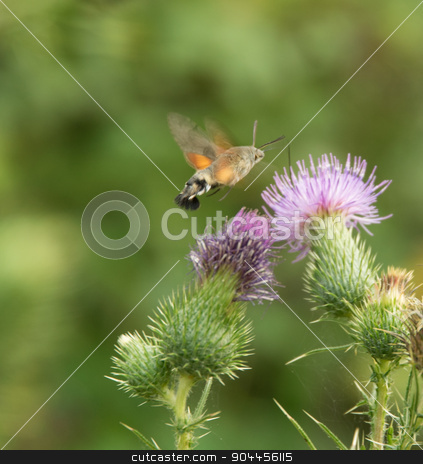 Hummingbird hawk-moth stock photo, Butterfly named Hummingbird hawk-moth flying around a thistle flower by prill