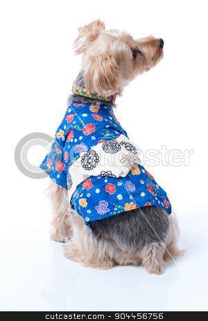 Yorkshire Terrier in Japanese Yukata stock photo, A Yorkshire Terrier wearing a blue Japanese Yukata. by Scott Dumas