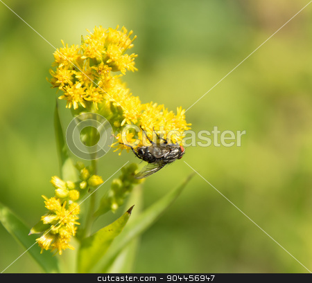 Flesh fly on yellow flower stock photo, Flesh fly on yellow flower head in green blurry back by prill
