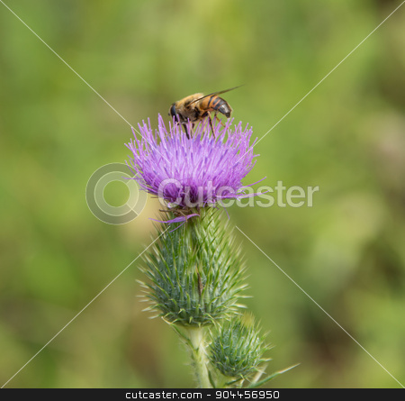 Hoverfly on thistle flower stock photo, Hoverfly on violet thistle flower in green blurry back by prill