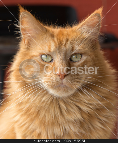 Maine Coon cat stock photo, portrait of a red brown Maine Coon cat by prill
