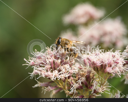Hoverfly on flower head stock photo, Hoverfly on flower head in green blurry back by prill