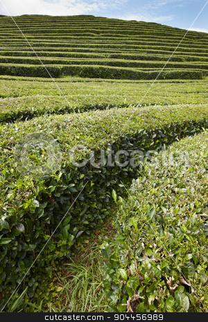 Traditional tea plantation in Sao Miguel, Azores. Portugal stock photo, Traditional tea plantation in Sao Miguel, Azores. Portugal. Horizontal by ABBPhoto