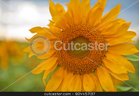 sunflowers stock photo, beautiful sunflowers at field with blue sky, closeup by olinchuk