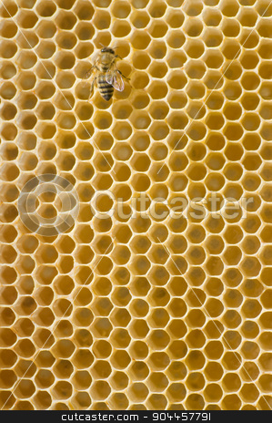 Honeybee on a comb  stock photo, Single honeybee on a comb - detail by Digifoodstock