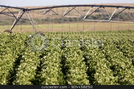 Potato Crop Row stock photo, Potato Crop Row in Saskatchewan Canada Prairie by Mark Duffy