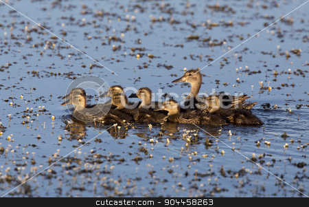 Mother Duck and Babies stock photo, Mother Duck and Babies in a row Canada by Mark Duffy