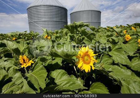 Sunflower Field Manitoba stock photo, Sunflower Field Manitoba yellow flower blue sky by Mark Duffy