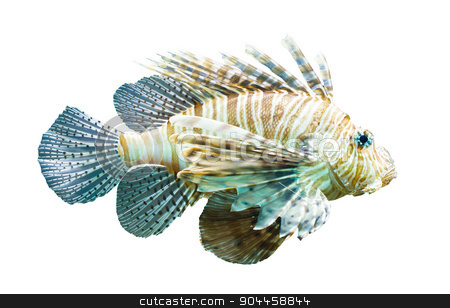 Pterois volitans, Lionfish - Isolated on white stock photo, Pterois volitans, Lionfish - Isolated on white - Natural colors by michaklootwijk