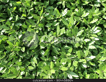 Laurel stock photo, Full frame of green laurel shrub - closeup by Digifoodstock