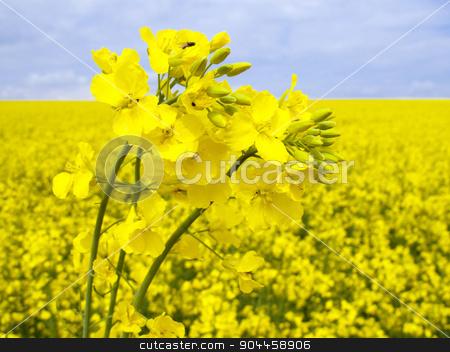 Flowering oilseed rape stock photo,  Field of flowering oilseed rape - closeup by Digifoodstock