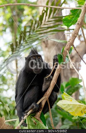Celebes crested macaque, Sulawesi, Indonesia stock photo, Ape Monkey Celebes Sulawesi crested black macaque, Takngkoko National park, Sulawesi, Indonesia by Artush