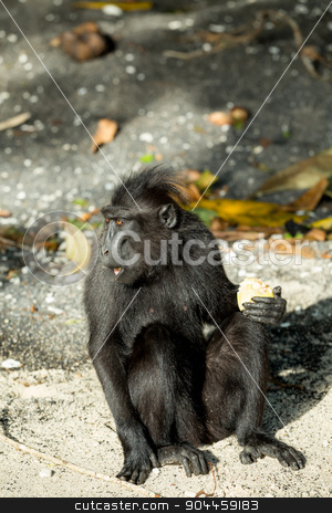 portrait of Celebes crested macaque, Sulawesi, Indonesia stock photo, portrait of  Ape Monkey Celebes Sulawesi crested black macaque, Takngkoko National park, Sulawesi, Indonesia by Artush