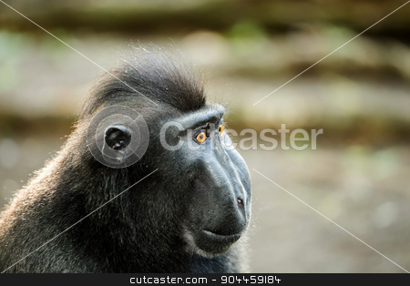 portrait of Celebes crested macaque, Sulawesi, Indonesia stock photo, portrait of  Ape Monkey Celebes Sulawesi crested black macaque, Takngkoko National park, Sulawesi, Indonesia by Artush