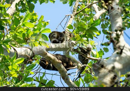 Endemic Sulawesi Cuscus bear on the tree stock photo, Endemic Sulawesi Cuscus bear on the tree. Tangkoko national park, Indonesia. Wildlife by Artush