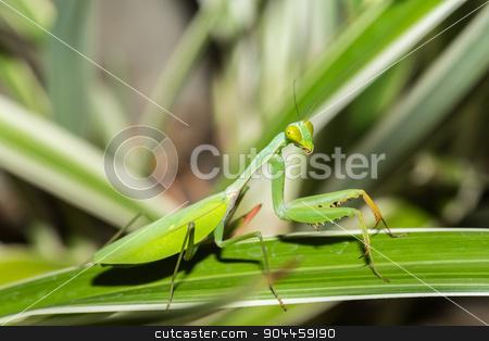 praying mantis on leaf, Sulawesi, Indonesia stock photo, Big female of praying mantis on green leaf, Sulawesi, Indonesia by Artush
