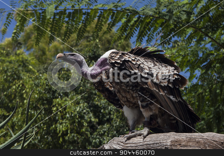 Adult vulture siting on stone stock photo, Adult vulture siting on stone by Jevgeni M