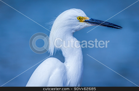 Wild Egret on the Atlantic Ocean, Florida, USA stock photo, Wild Egret on the Atlantic Ocean, Florida, USA by Jeffrey Schwartz