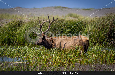 Bull Elk Grazing for Food stock photo, Bull Elk Grazing for Food, Color Image, Northern California, USA by Jeffrey Schwartz