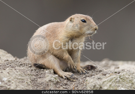 Black-tailed prairie dog  (Cynomys ludovicianus) stock photo, Black-tailed prairie dog  (Cynomys ludovicianus) in it's natural habitat by michaklootwijk