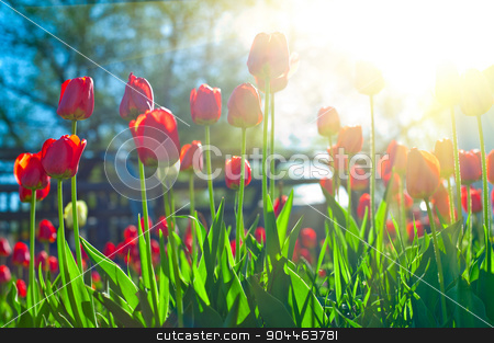 tulips  stock photo, Field of red colored tulips with starburst sun by olinchuk