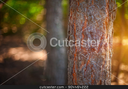 Forest stock photo, Closeup tree in the forest with sun rays  by olinchuk
